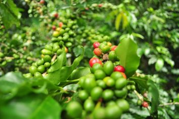 Manizales Coffee plantation